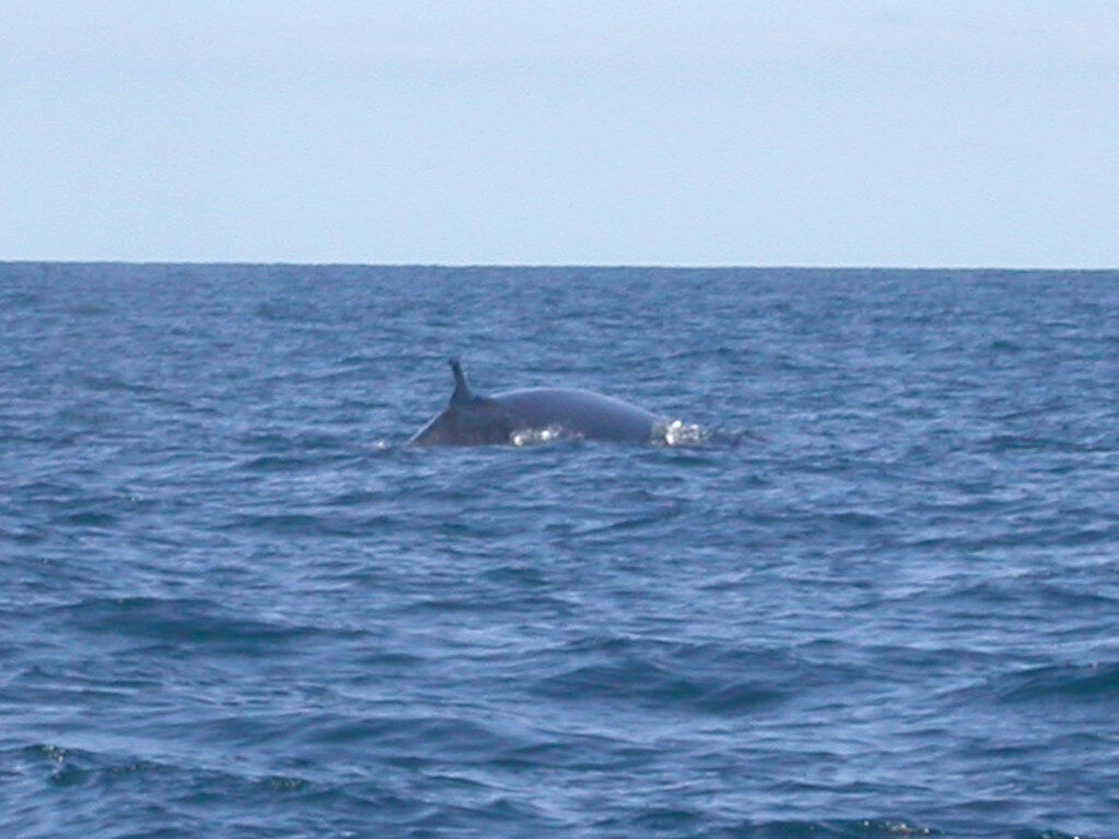 2 more Bryde's whales seen off Koh Samui in marine park | Thaiger
