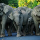 Unemployed elephants walk 500 kilometres from Pattaya to Surin | Thaiger