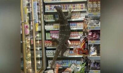 Giant monitor lizard visits Thai 7 Eleven store, video goes viral | Thaiger