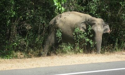 Man trampled to death while feeding roadside elephant | Thaiger