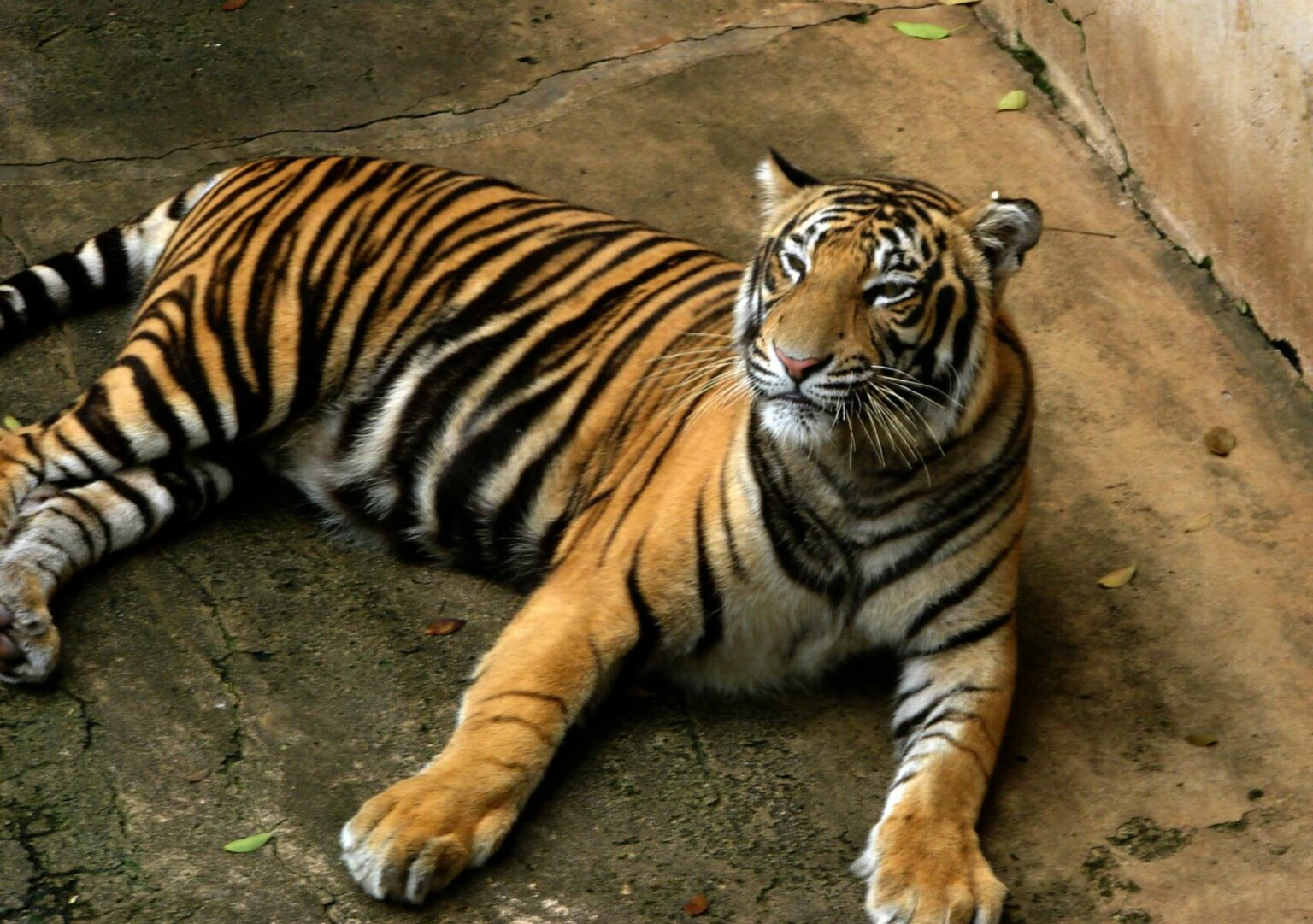 A Bengal tiger fled to America captured after terrorizing locals